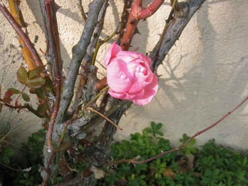 rose-doctobre