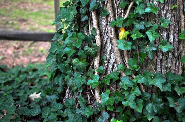 lierre-arbre.jpg