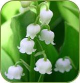 fleurs_de_muguet