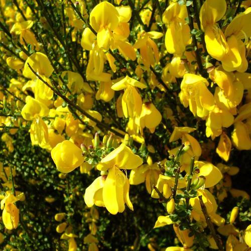 cytisum-scoparius-genet-fleur-jaune-main-11951895
