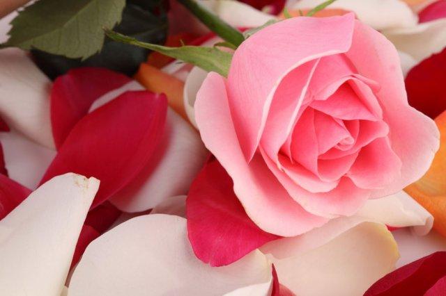 521274__rose-on-petal-bed_p