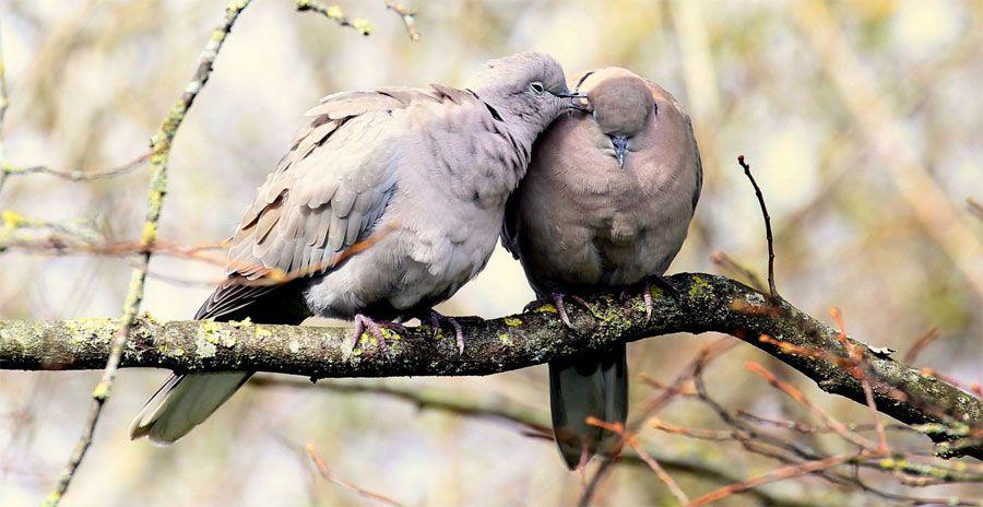 tourterelles-couple